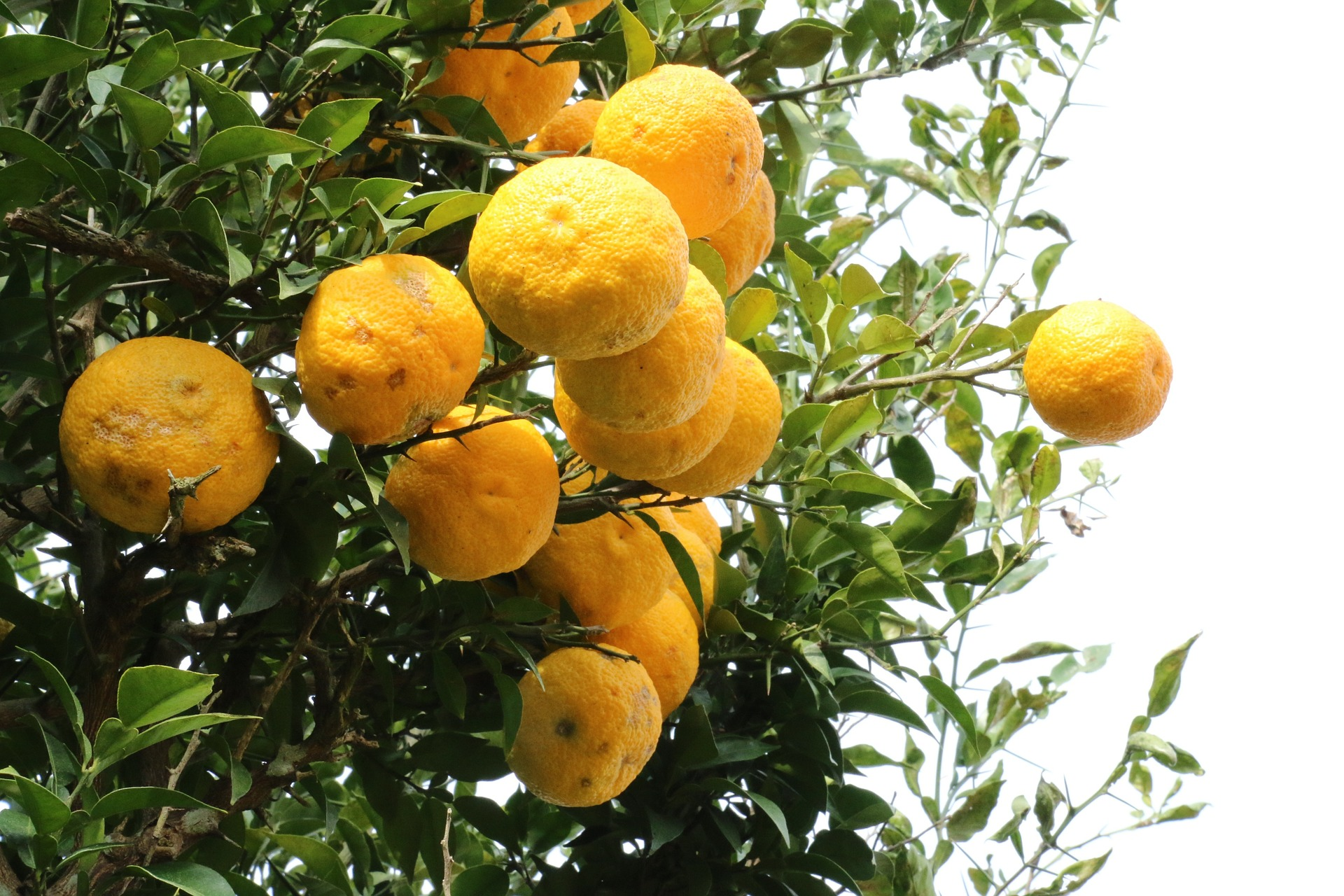 citron-1241690_1920